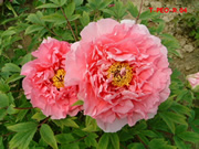 Peony, national flower of China